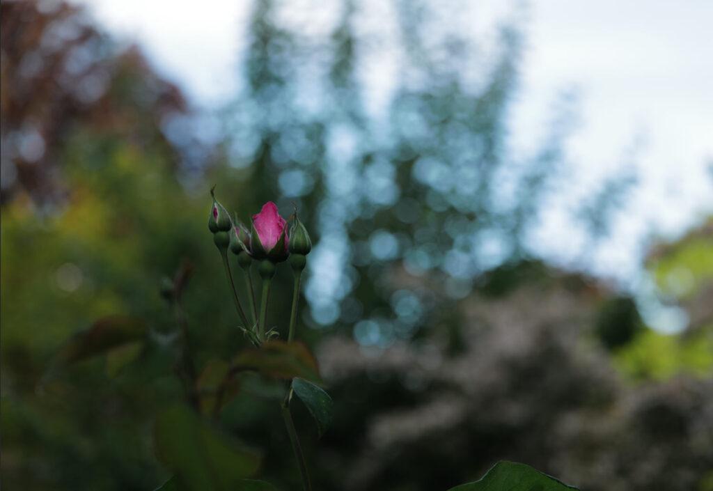Bokeh bei ƒ2,0 mit der untergehenden Sonne, Summicron-SL 75mm