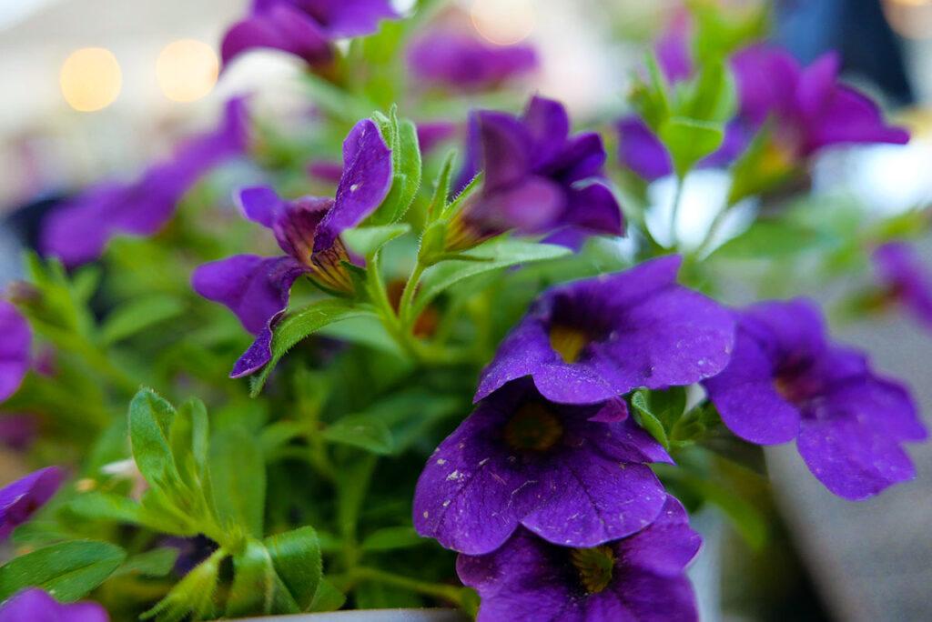 Leica D-Lux7: Blumen auf dem Tisch im Restaurant mit fast offener Blende